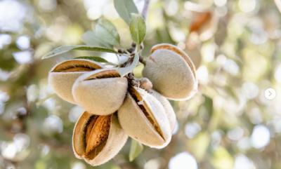 almond farm_Marcia Cripps