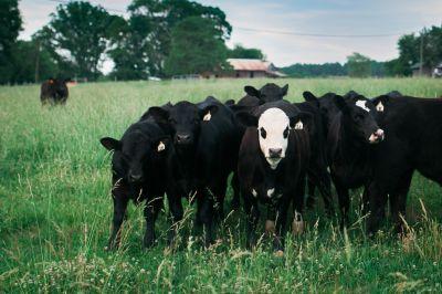 Meredith Bernard cattle farm
