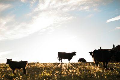 Meredith Bernard cattle farm cows
